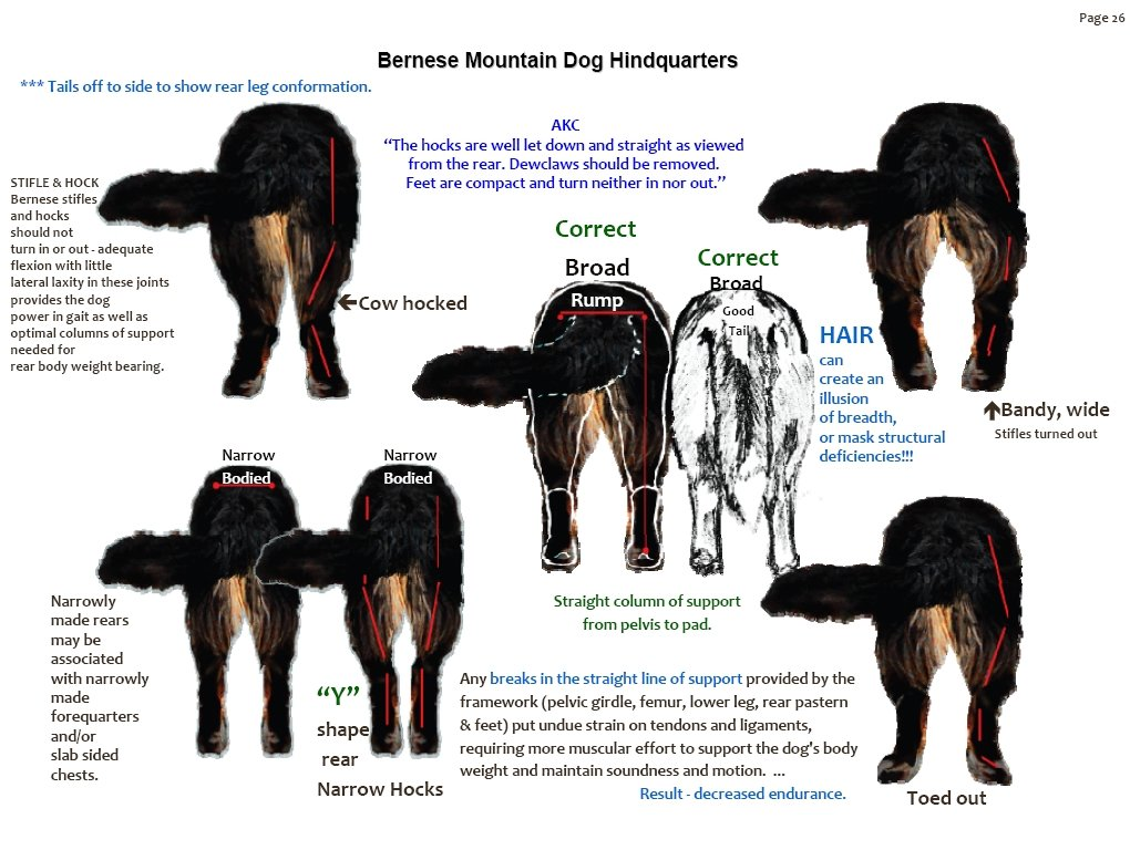 Bernese Mountain Dog Hindquarters