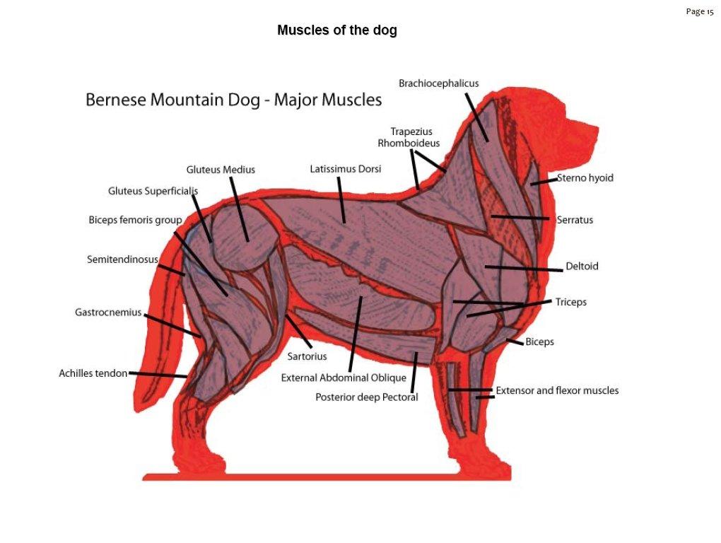 Dog Anatomy Muscle
