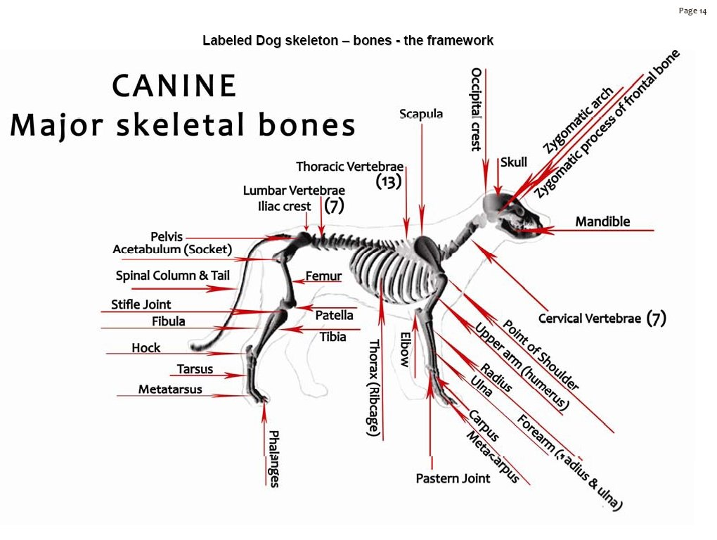 Dog Skeleton Labeled Bones