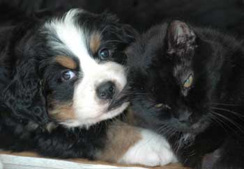 berner puppy and cat