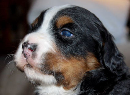 berner puppy 3 weeks old