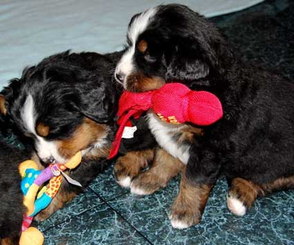 6 weeks, berner pups and toys
