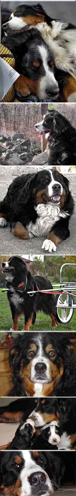 Senior Bernese