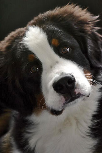 Cute Bernese puppy
