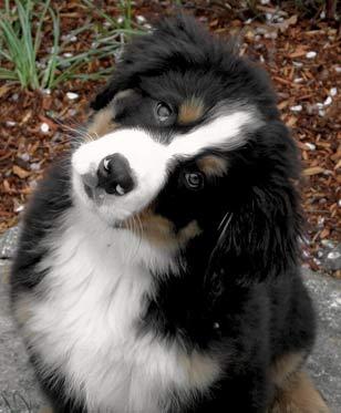 Bernese Breeders Info For Berner Puppy Buyers