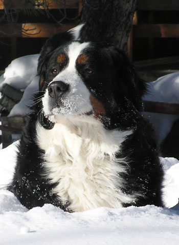Berner in snow