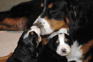 Mary Ann Bowman's Berner babies