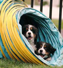Berner pups in Agility Tunnel