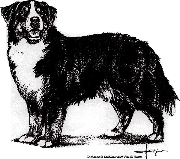 Bernese Mountain Dog Breed Standards