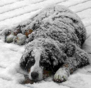 Berners love snow