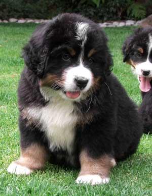 bernese mountain dog puppies price