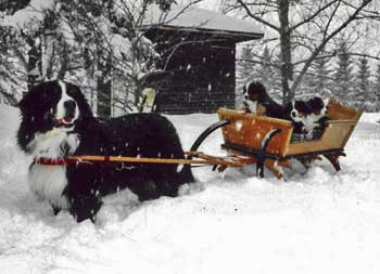 Berner pups in cart