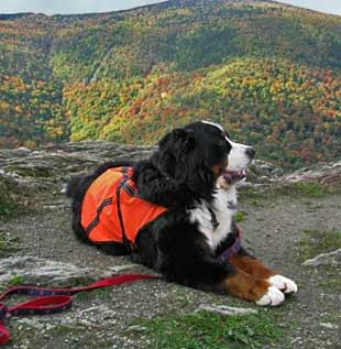 Bear Bernese