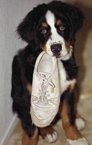 Berner pup with shoe
