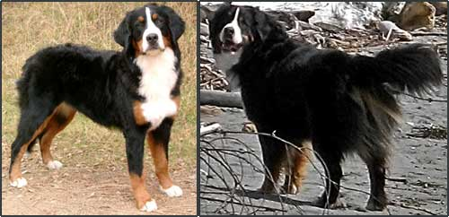 Bernese Mountain Dog Puppy Growth