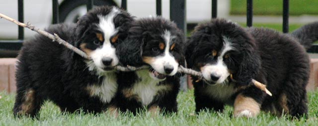 Berner pups with stick