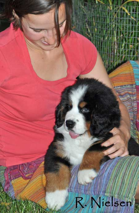 bernese puppy cuddling